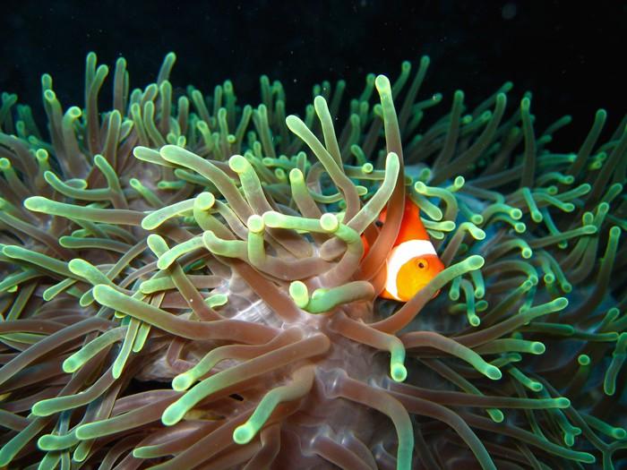 Vinylová Tapeta Tropické klaun ryby - Vodní a mořský život