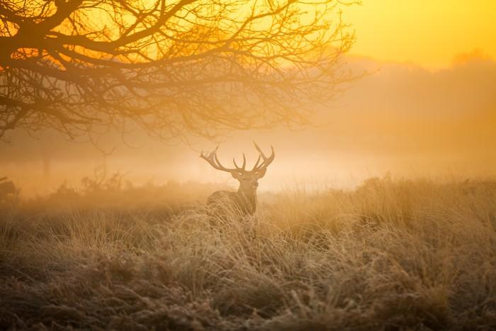 Vinylová Tapeta Red Deer v ranní Slunce. - Savci
