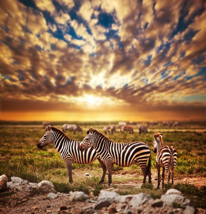 Zebras herd on African savanna at sunset Safari in Serengeti Wall