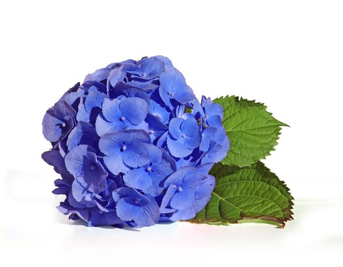 papier peint hortensia bleu pixers nous vivons pour changer. Black Bedroom Furniture Sets. Home Design Ideas