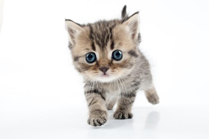 Vinylová Tapeta Malý skotský rovně kotě chůzi směrem k - Savci