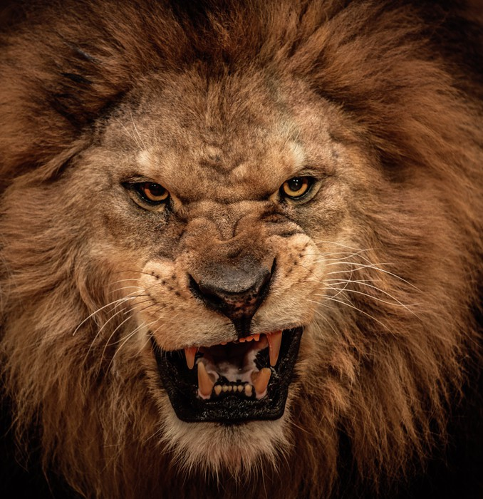 Afbeeldingsresultaat voor lion pride