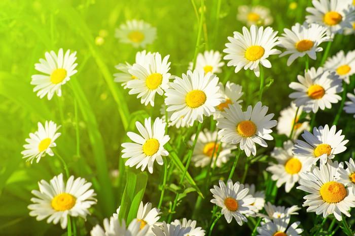 Vinyl Fotobehang Daisy bloem op groene weide - Bloemen