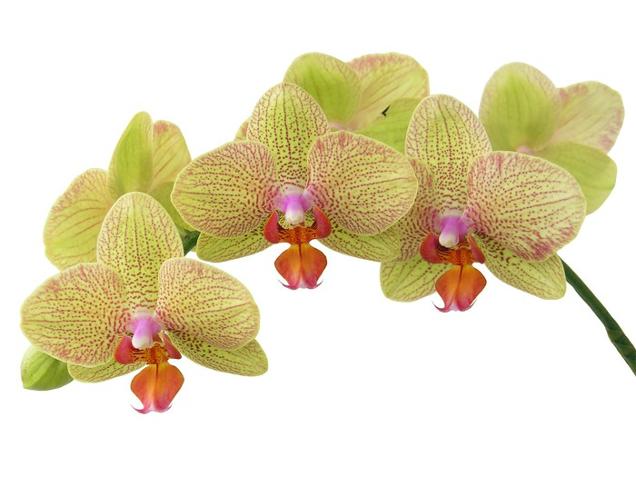 Bunch of yellow orchid flowers wall mural pixers we live to change bunch of yellow orchid flowers vinyl wall mural plants mightylinksfo