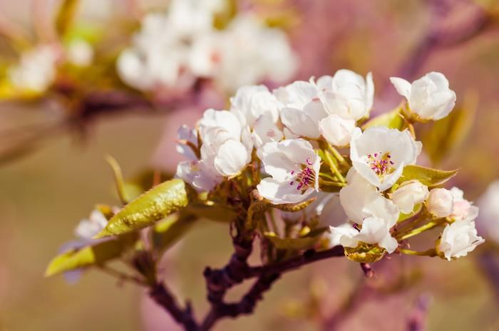 Vinylová Tapeta Kvetoucí větev jabloně - Květiny