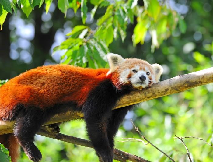 aufkleber roter panda auf baum pixers wir leben um zu ver ndern. Black Bedroom Furniture Sets. Home Design Ideas