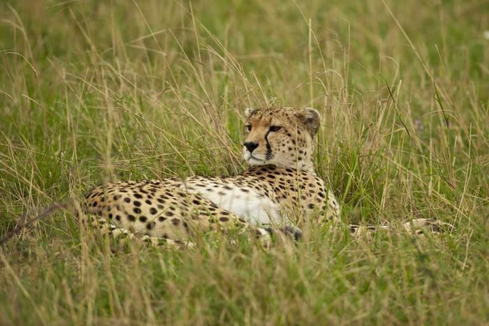 Vinylová Tapeta Cheetah v Savannah - Savci