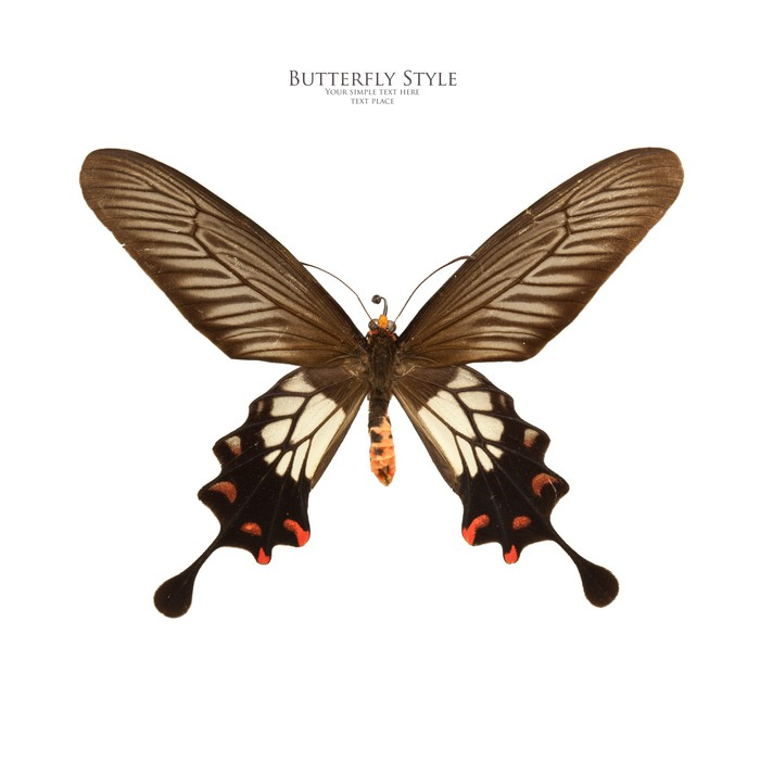 Fototapete Papilio Coon Schmetterling • Pixers® - Wir leben, um zu ...