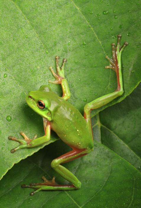 Vinylová Tapeta Zelená žába lezení list - Ostatní Ostatní