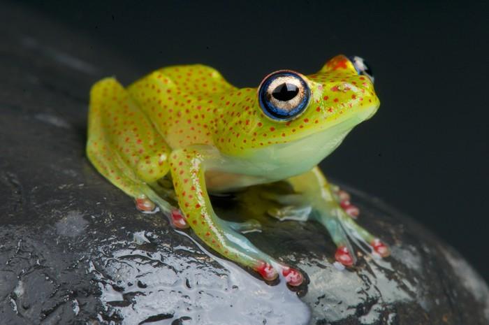 Vinylová Tapeta Red Spotted Tree Frog / Boophis erythrodactylus - Afrika