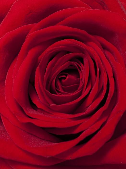 papier peint red rose pixers nous vivons pour changer. Black Bedroom Furniture Sets. Home Design Ideas