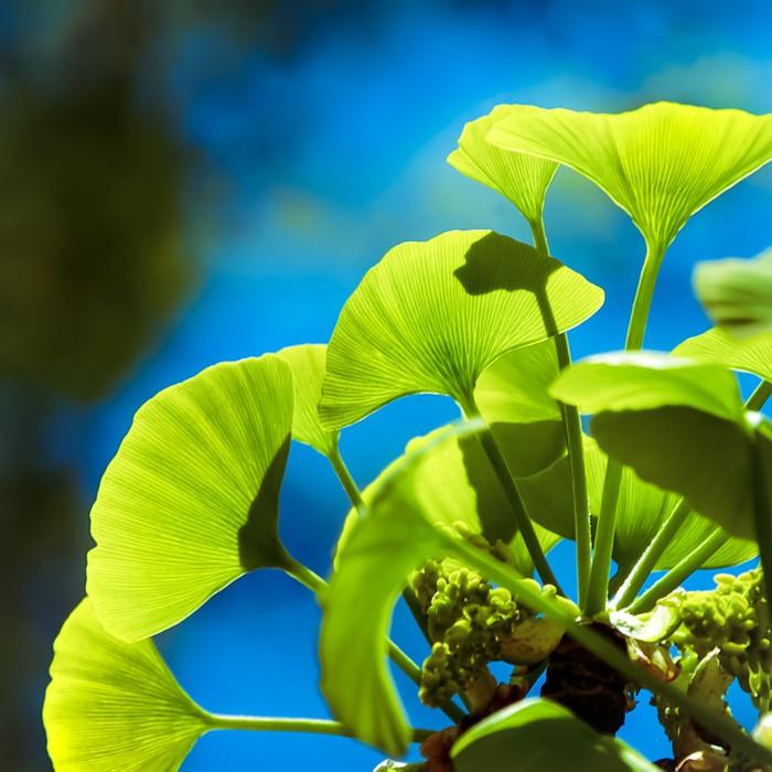 Vinylová fototapeta Ginkgo biloba zelené listy na stromě - Vinylová fototapeta