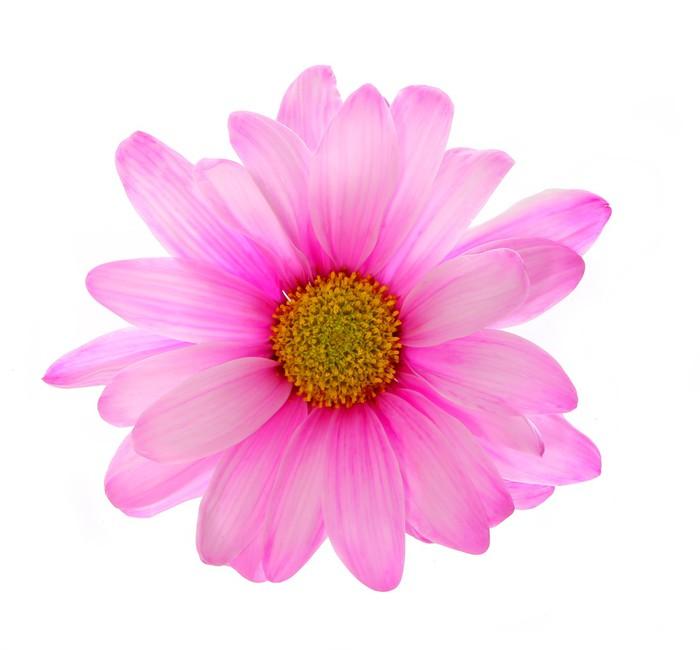 Vinylová Tapeta Růžový květ chryzantémy izolovaných na bílém - Rostliny
