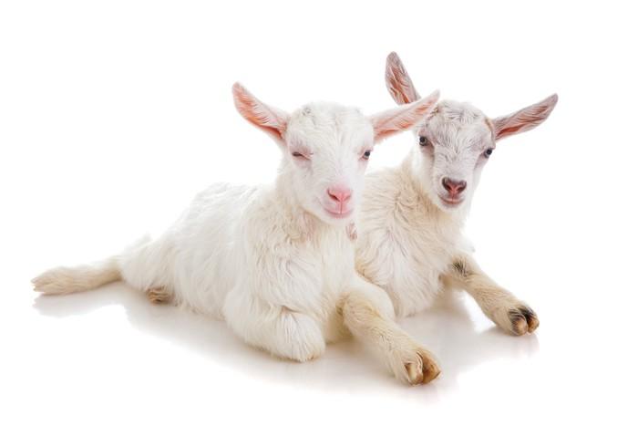 Vinylová Tapeta Dvě děti na kozy, izolované - Savci