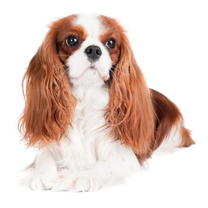 Cavalier king charles spaniel dog portrait lack table veneer cavalier king charles spaniel dog portrait lack table veneer thecheapjerseys Image collections