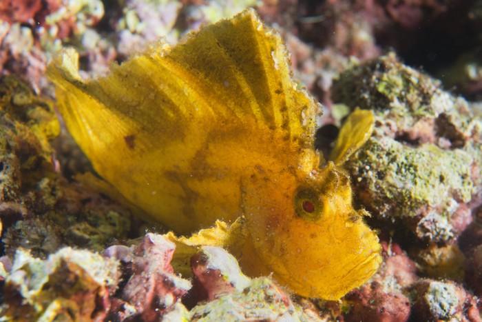 Vinylová Tapeta Žlutá Leaf ryby v Cebu, Filipíny - Ostatní Ostatní