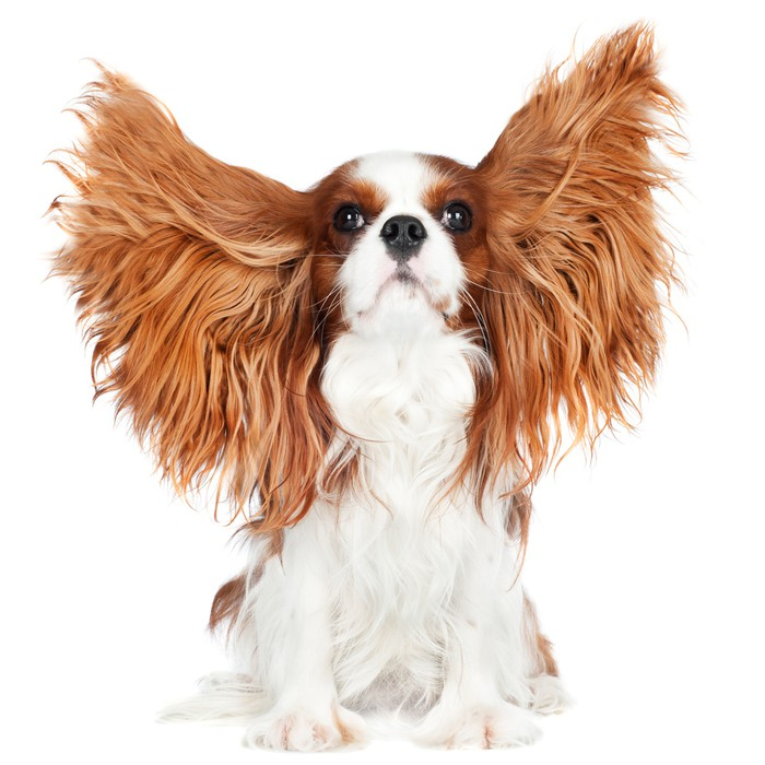 Cavalier king charles spaniel dog with ears in the air wall mural cavalier king charles spaniel dog with ears in the air vinyl wall mural mammals altavistaventures Images