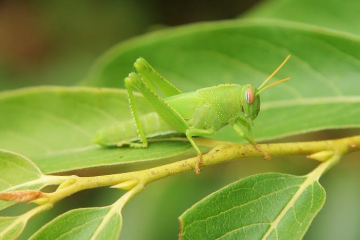 Vinylová Tapeta Zelená kobylka - Ostatní Ostatní