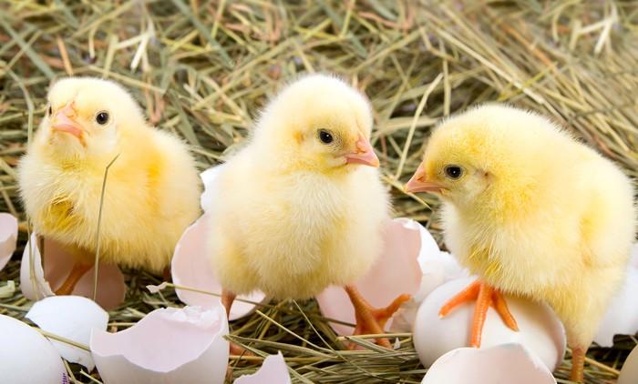 Vinylová Tapeta Jen porodu kuřata v hnízdě - Ptáci
