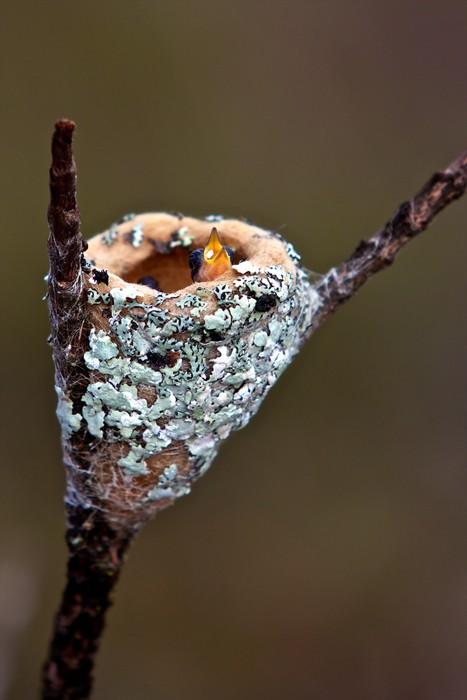 Nálepka Pixerstick Bébé pták colibri dans syn nid - Amerika