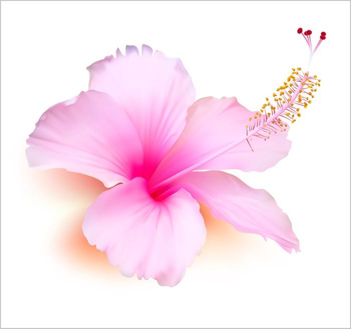 Vinylová Tapeta Květina vektor. Hibiscus tropických rostlin příroda ilustrace - Květiny