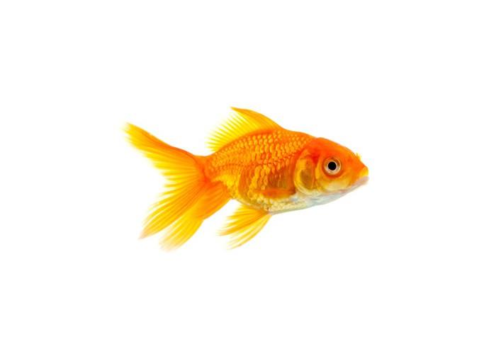 Tableau sur toile poisson rouge pixers nous vivons for Poisson rouge a acheter