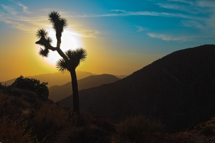 Vinylová Tapeta Silueta Joshua Tree při západu slunce. USA. Kalifornie. - Amerika