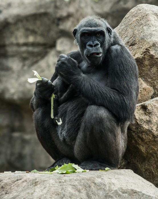 Vinilo Pixerstick Gran gorila negro sentado roca y comer • Pixers ...
