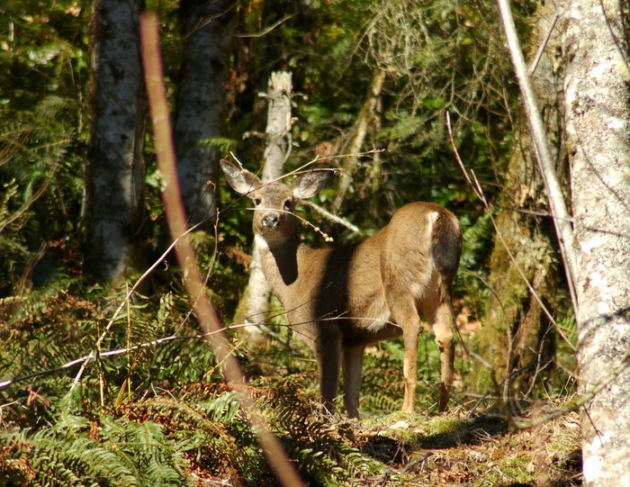 Vinylová Tapeta Mt Rainier srna - Příroda a divočina
