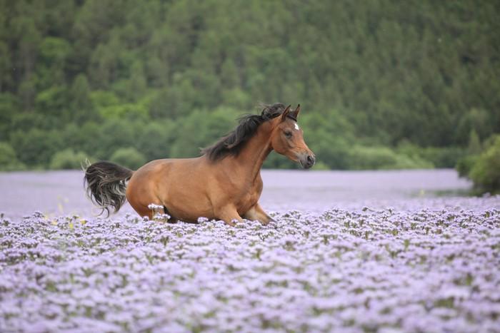 Vinylová Tapeta Pěkný Arabský kůň běží v fiddleneck oblasti - Savci
