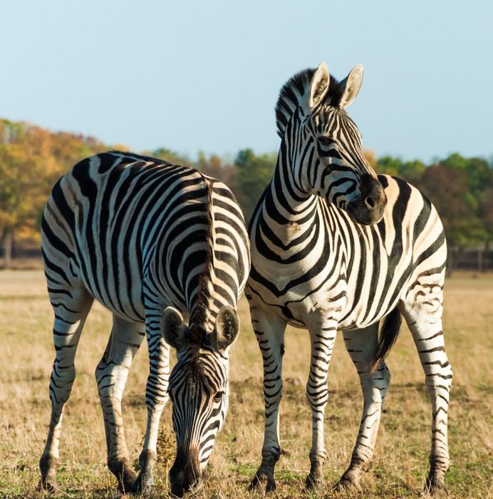 Fotomural Dos rayas de cebra en la sabana africana • Pixers ...