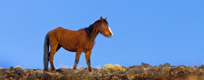 Vinylová Tapeta Wild Mustang Koně - Savci
