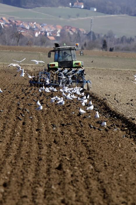 Vinylová Tapeta Möwen und Stare Folgen einem pflügenden Traktor (Weserbergland) - Ptáci