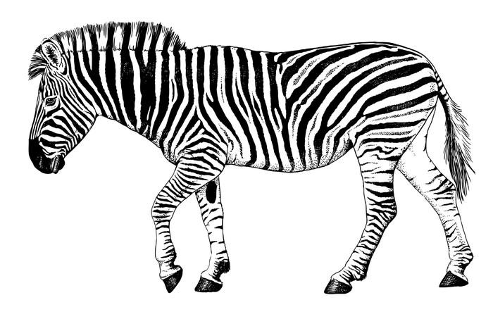 Vinilo pixerstick blanco y negro dibujo vectorial de una - Dessin zebre facile ...