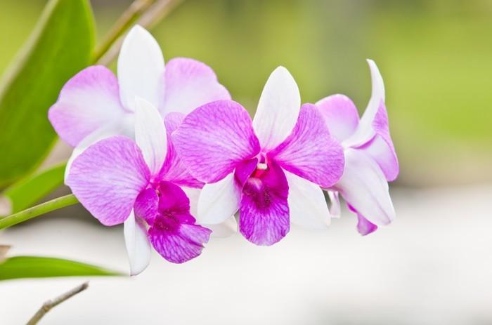Vinylová Tapeta Fialová orchidej na zeleném pozadí - Květiny