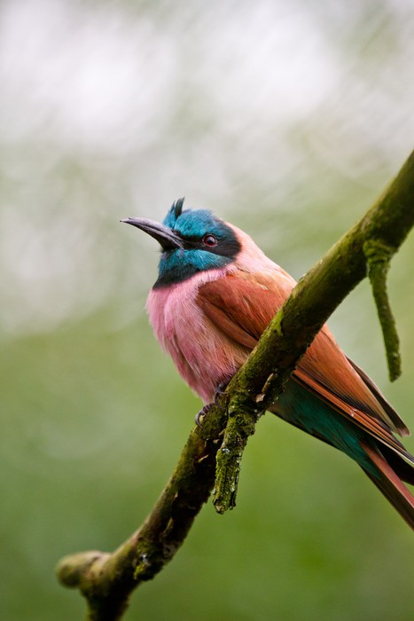 Vinylová Tapeta Scharlachspint (Merops nubicus) - Ptáci