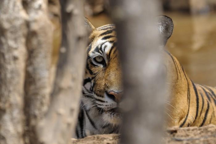 Vinylová Tapeta Portait bengálského tygra přes stromy. - Savci