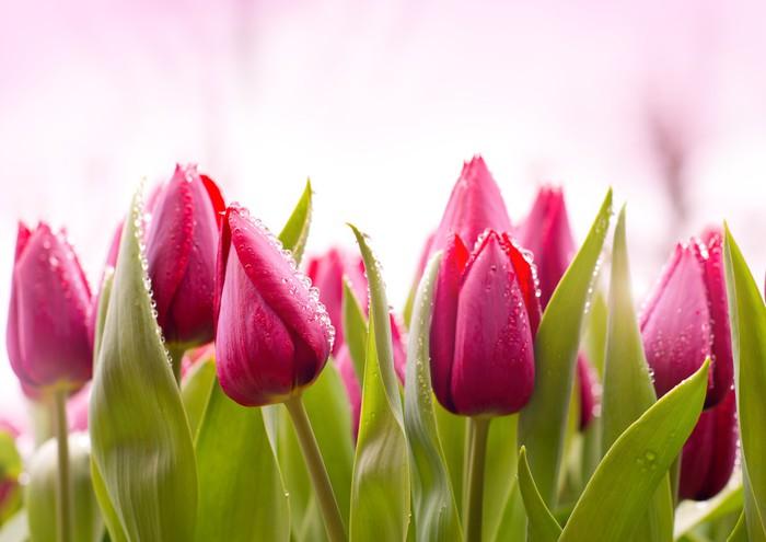 Vinylová Tapeta Čerstvé tulipány kapkami rosy - Témata
