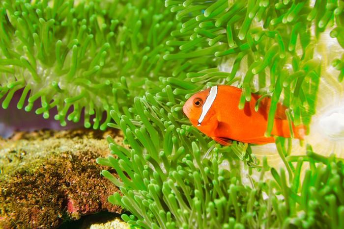 Vinylová Tapeta Spinecheek anemonefish - Vodní a mořský život