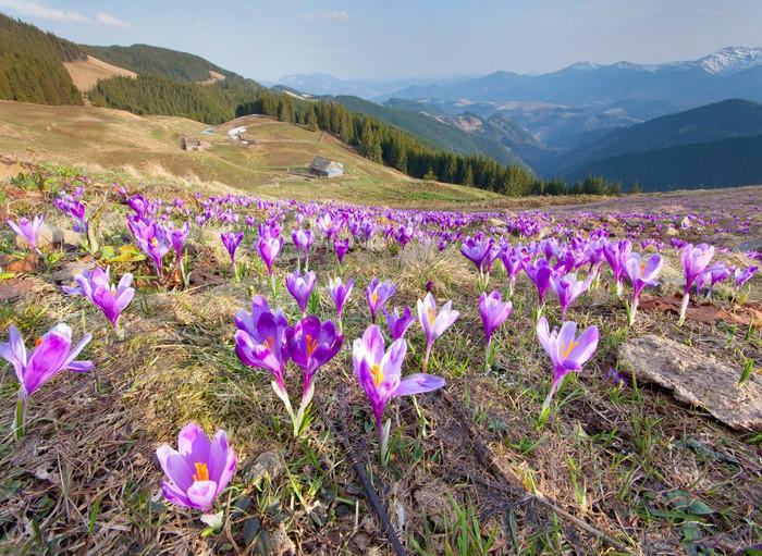 Vinylová Tapeta Květ krokusy na jaře v horách - Hory