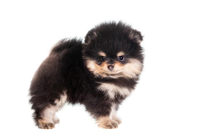 Vinylová Tapeta Malý špic štěně stojící na bílém pozadí - Savci