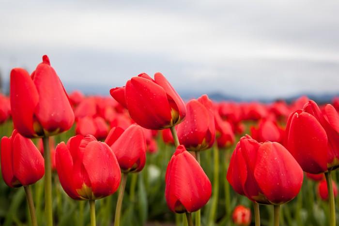 Vinylová Tapeta Zblízka červené tulipány - Témata