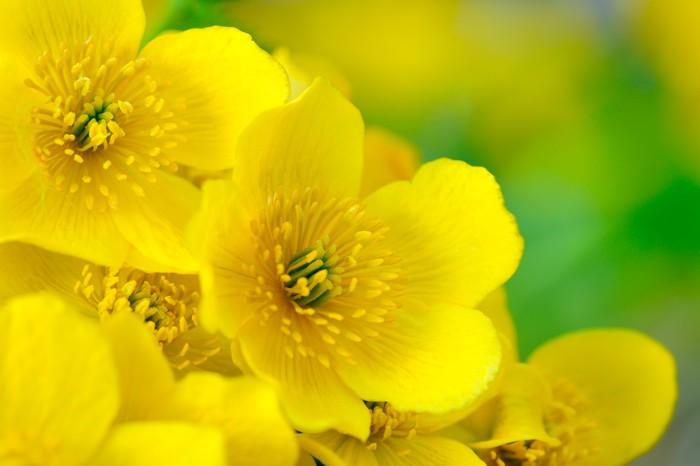 Vinylová Tapeta Žlutá blatouch (blatouch) Květiny Makro - Květiny
