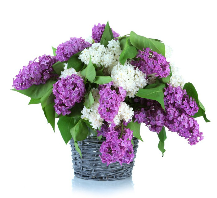 Beautiful Lilac Flowers In Wicker Vase Isolated On White Wall Mural