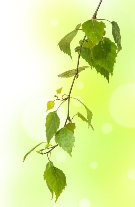 Vinylová Tapeta Čerstvé bříza větev - Rostliny