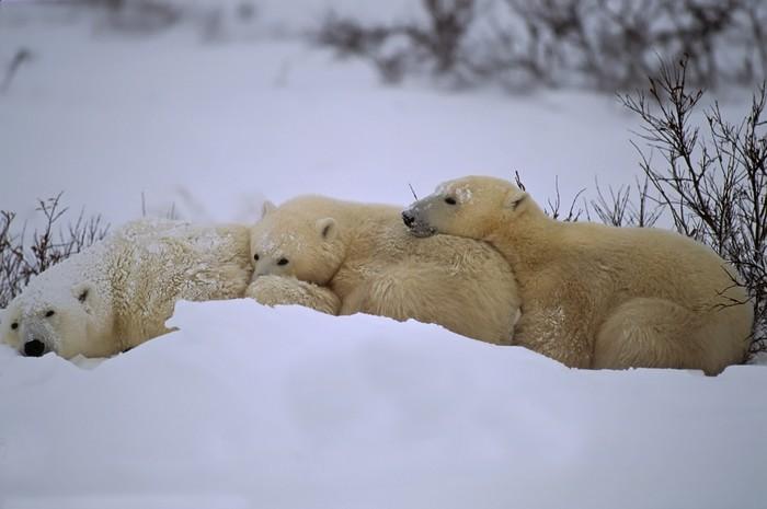 tableau sur toile ours polaire avec ses louveteaux. Black Bedroom Furniture Sets. Home Design Ideas