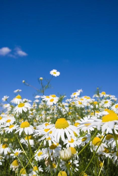 Vinylová Tapeta Bláznivý Daisy - Květiny
