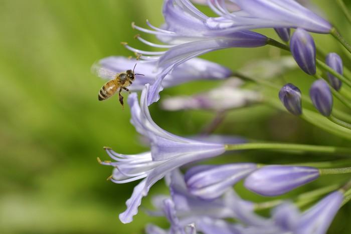 Vinylová Tapeta Agapanthus a včelí 3 - Ostatní Ostatní