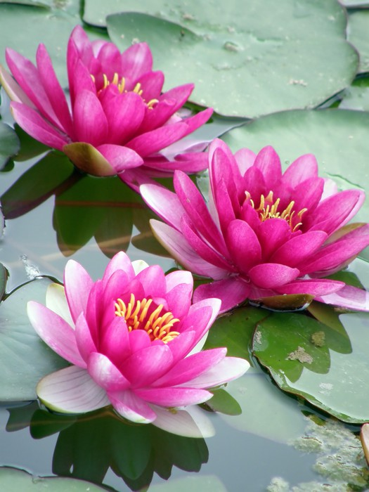 Fototapeta winylowa Lilia wodna - Kwiaty