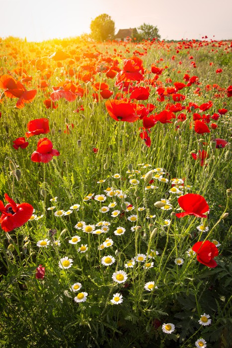 Nálepka Pixerstick Louka plná květin Corn Poppy - Témata